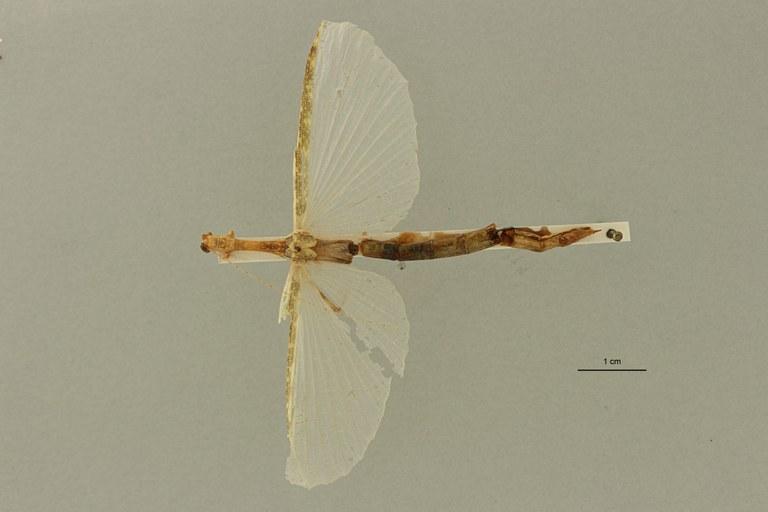 Aruanoidea analis ht D ZS PMax Scaled.jpeg