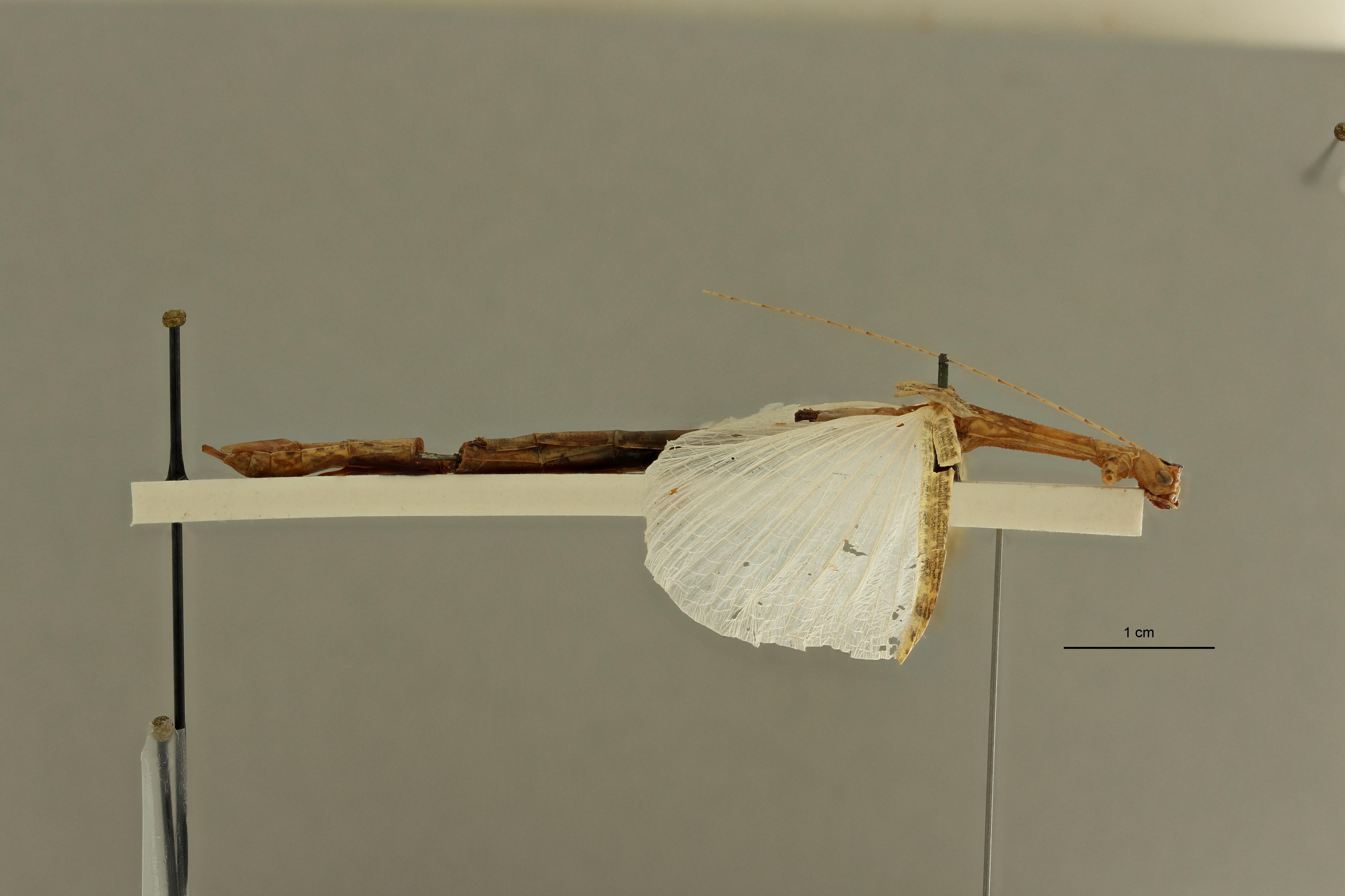 Aruanoidea analis ht L ZS PMax Scaled.jpeg