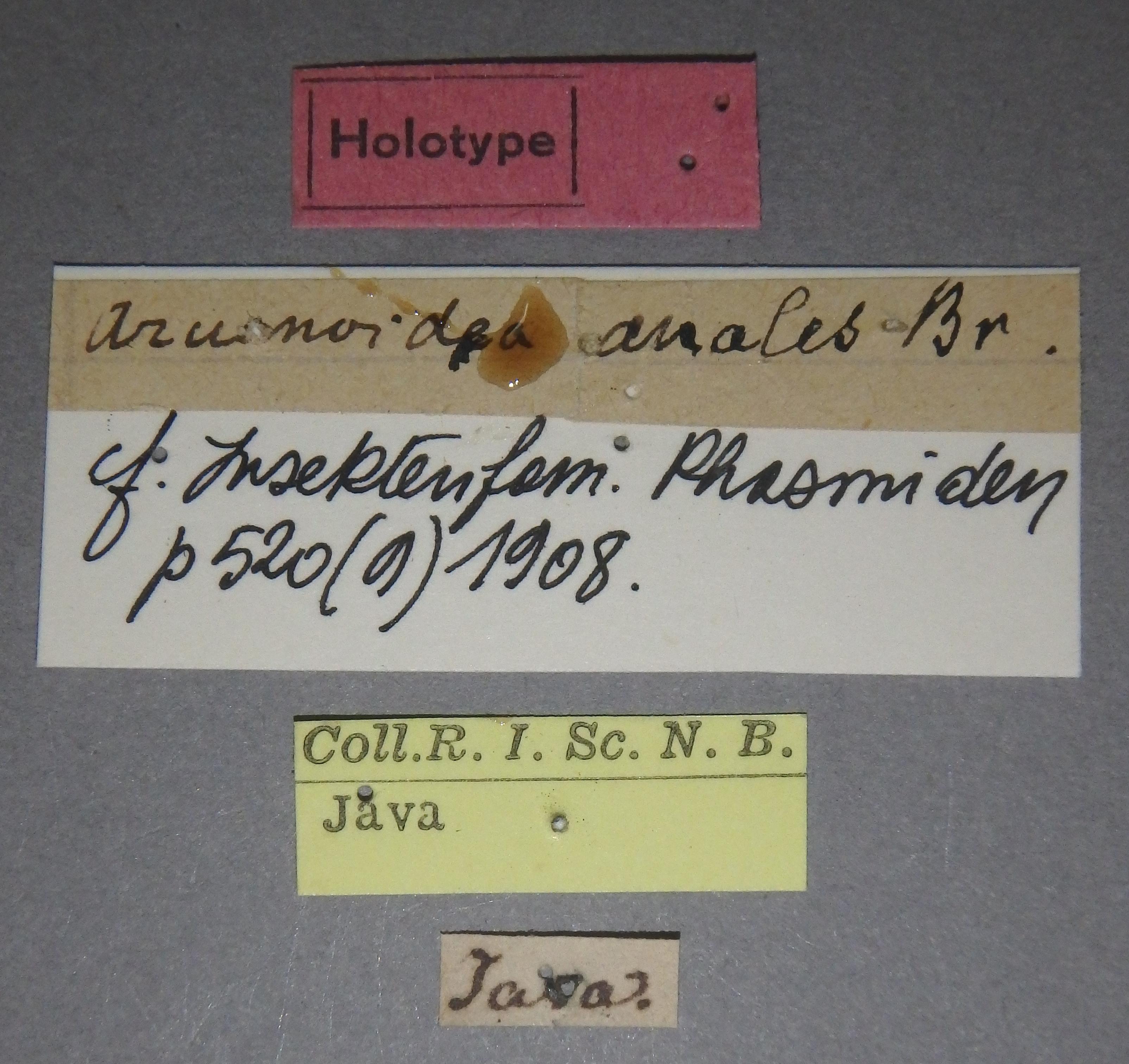 Aruanoidea analis ht Lb.JPG