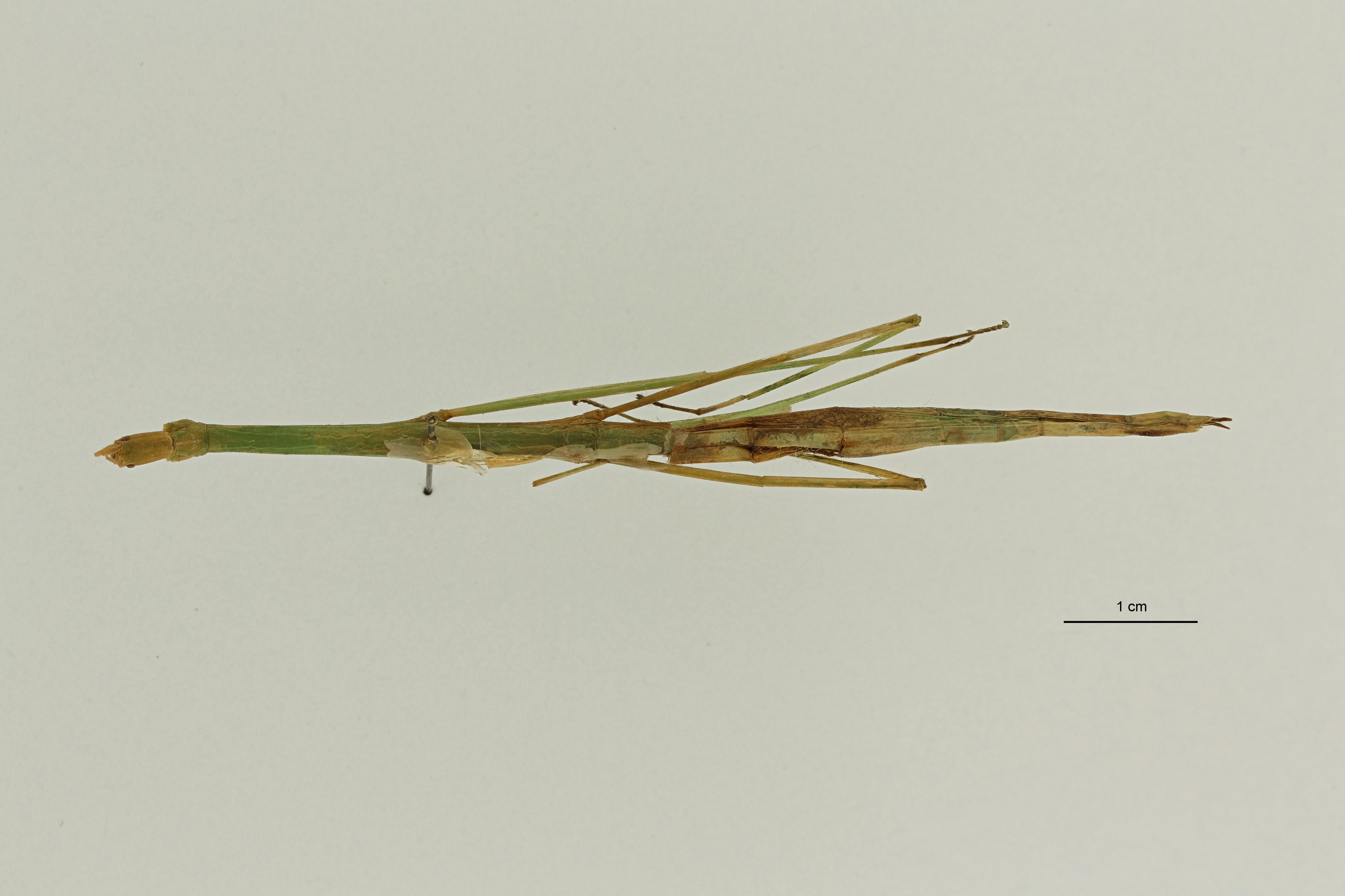 Ramulus conformans pt1 D ZS PMax Scaled.jpeg