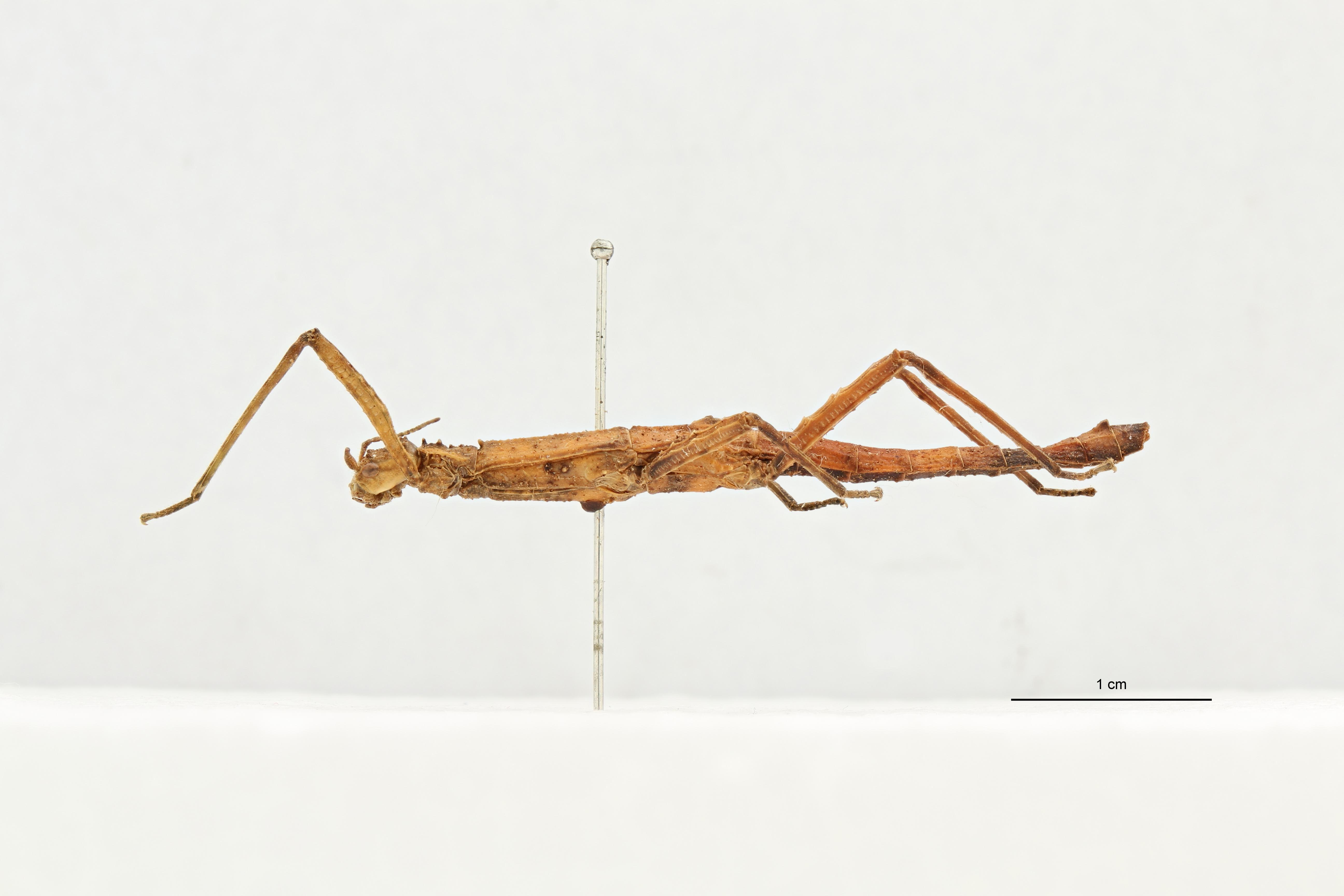 Eupromachus brevis t L.jpg
