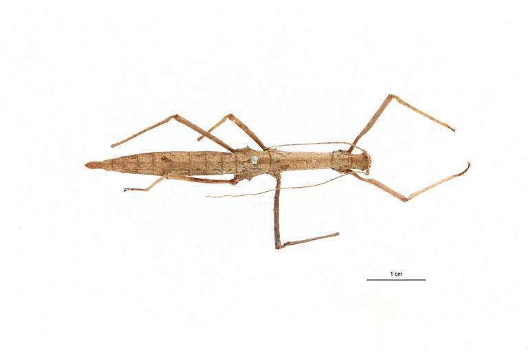Eupromachus pleurospinosus pt D.jpg