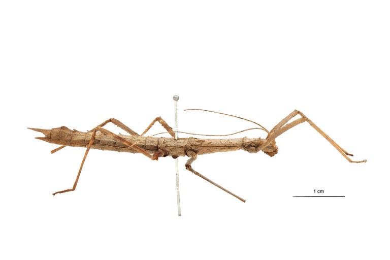 Eupromachus pleurospinosus pt L.jpg