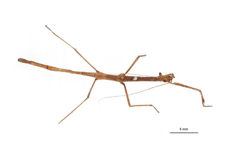 Phenacocephalus coronatus ht D.jpg