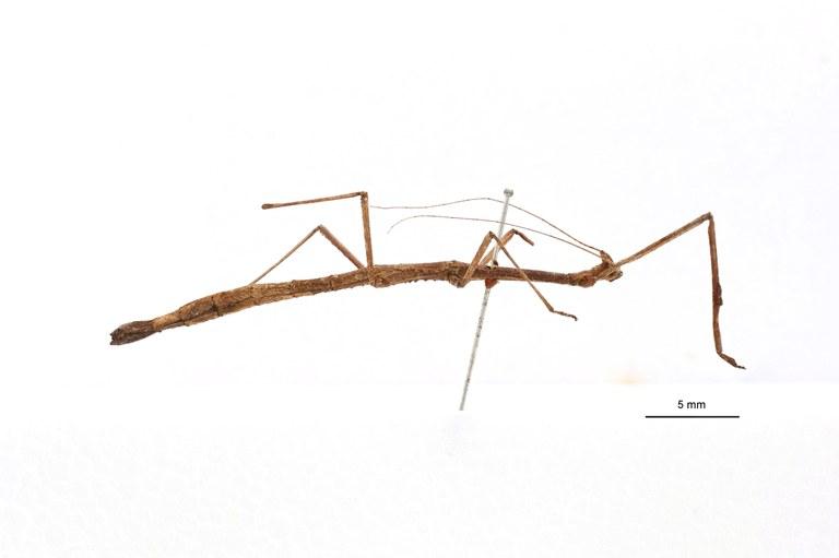 Phenacocephalus coronatus ht L.jpg
