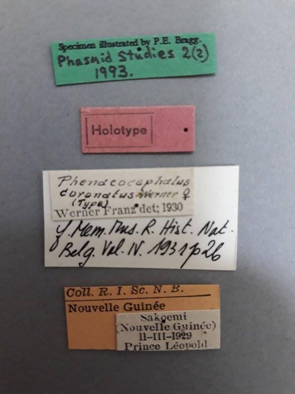Phenacocephalus coronatus ht.jpg