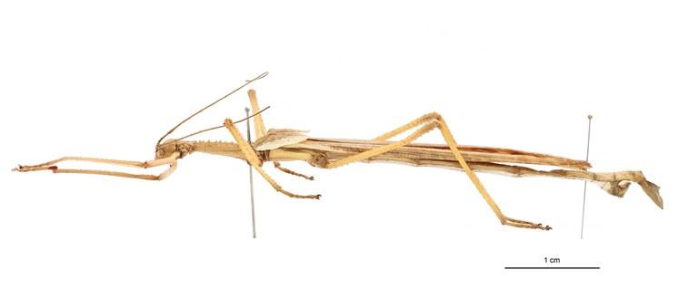 Papuanoidea straeleni ht L.jpg
