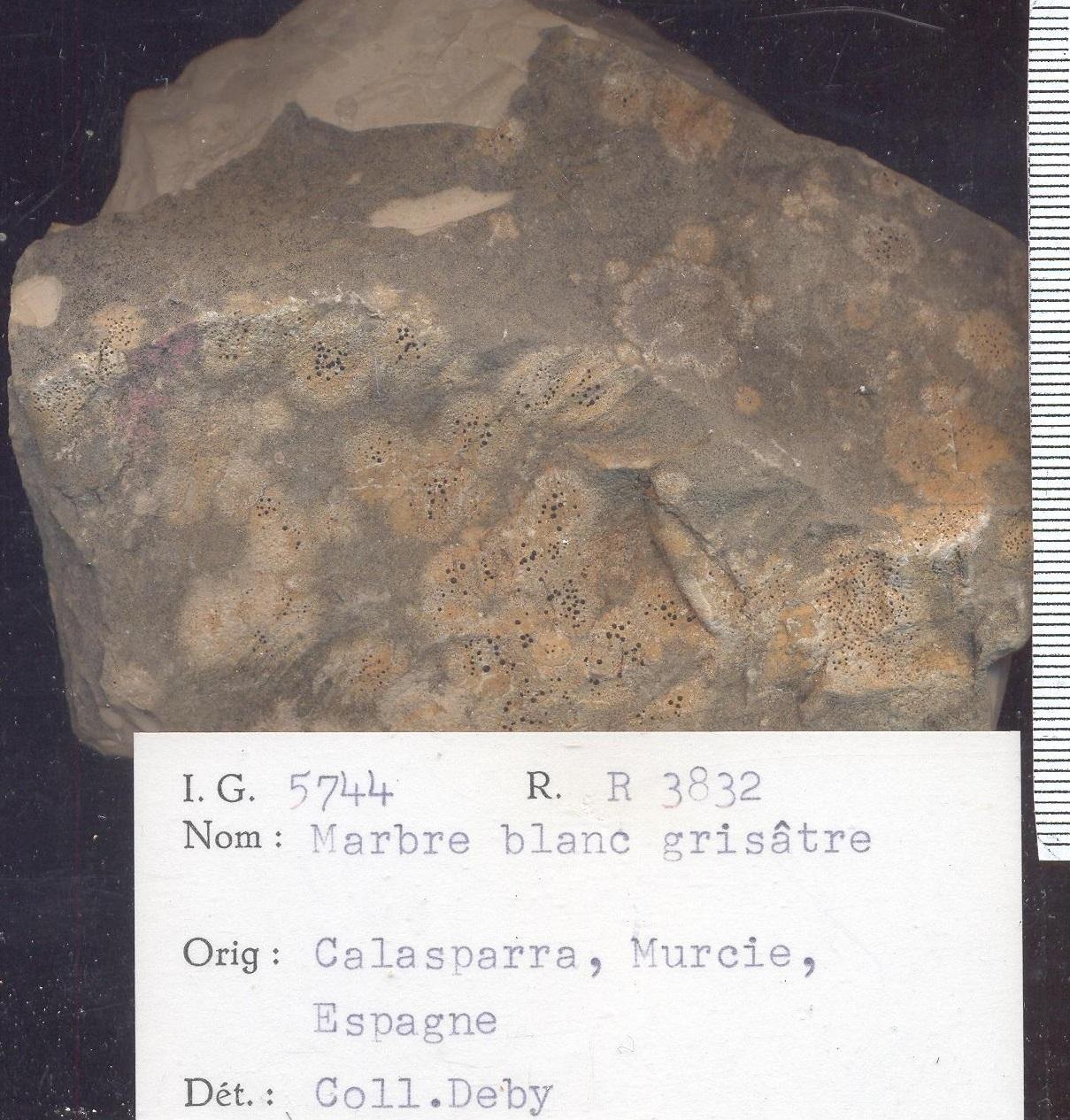 Calasparra blanc grisatre RR3832