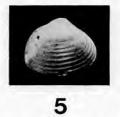 Fig.5 - Corbula wemmelensis