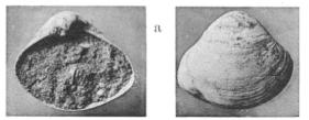 Fig.6a - Aloidis gallica