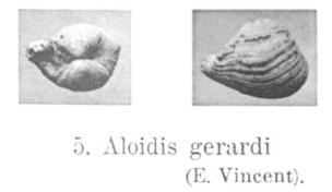 Fig.5 Aloidis gerardi Vincent 1921