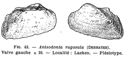 Fig.43 - Anisodonta rugosula