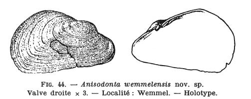 Fig.44 - Anisodonta wemmelensis