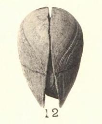 Pl. I, fig. 12