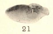 Pl. I, fig. 21