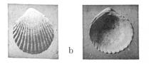 Fig.6b - Cardita rugifera