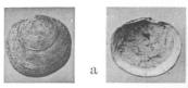 Fig.3a - Cavilucina mitis