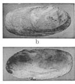 Fig.12b - Clavagella coronata