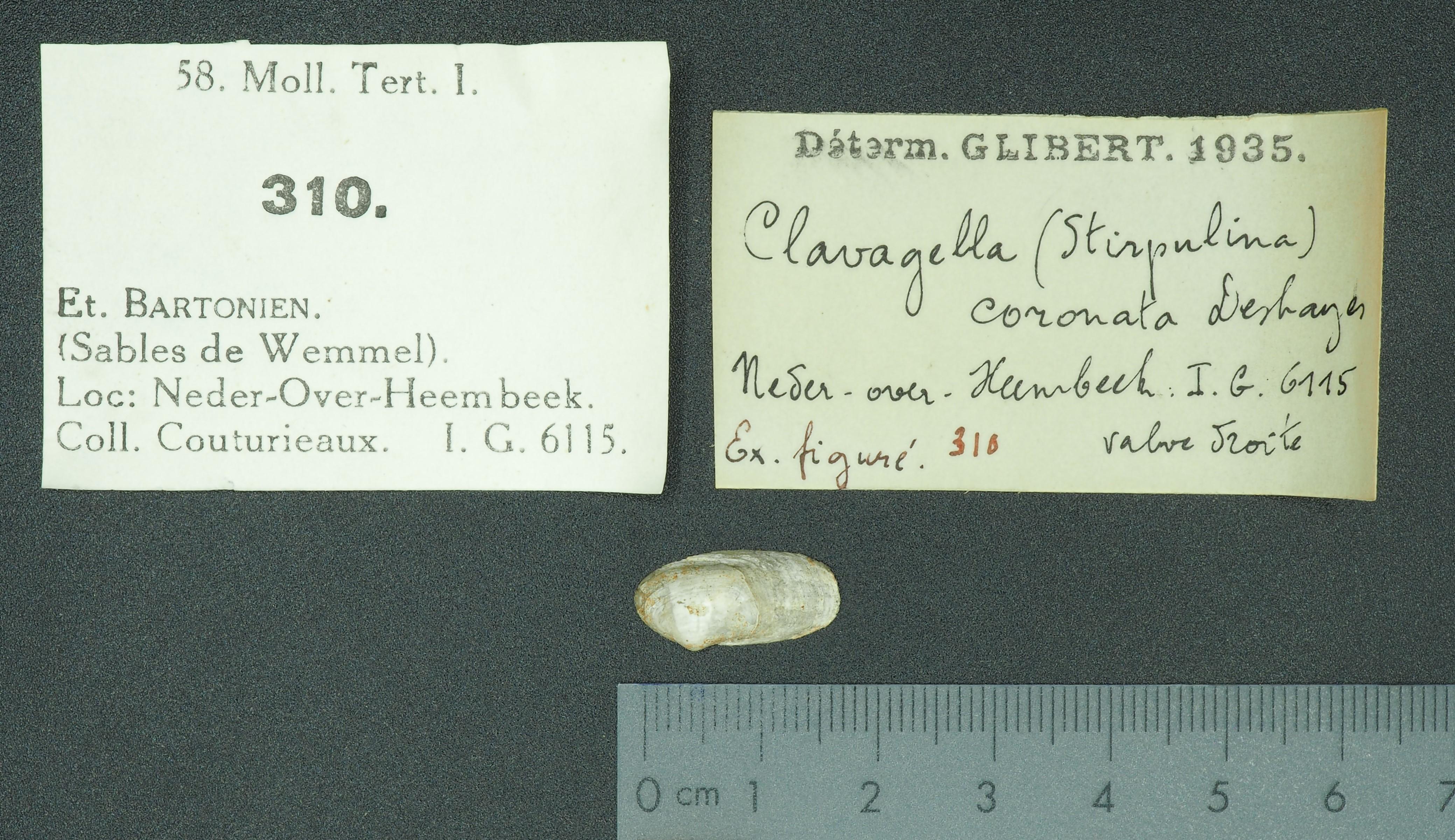 RBINS 310 - Clavagella coronata fig Lb