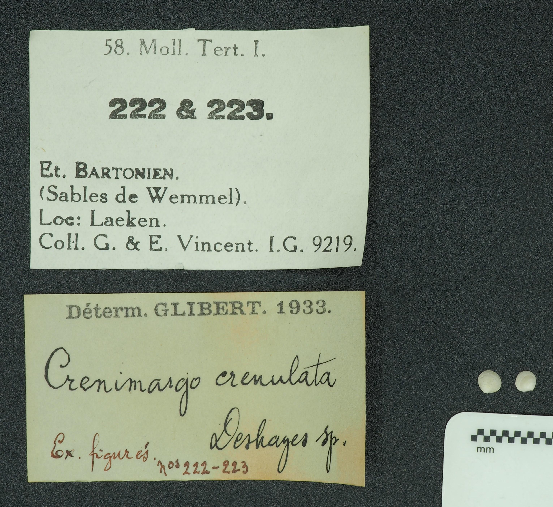 RBINS 222 223 - Crenimargo crenulata figured Lb