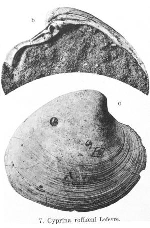 Fig.7b-7c - Cyprina roffiaeni Lefèvre (in Nyst), 1874