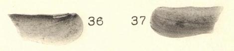 Pl. I, fig. 36-37