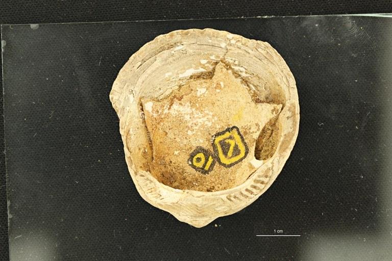 Pectunculus lunulatus (Photostacking) - Ventral View