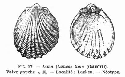 Fig.27 - Lima tenuisculptata