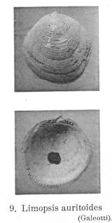 Fig 9 - Limopsis auritoides Glibert, M. (1936)