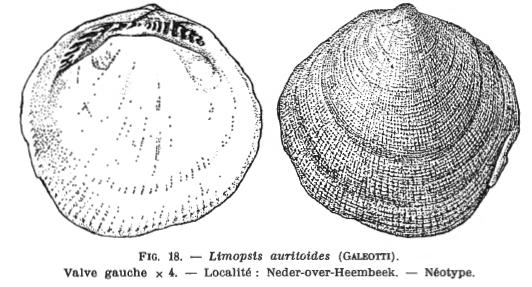 Fig 18 - Limopsis auritoides Glibert, M. (1936)