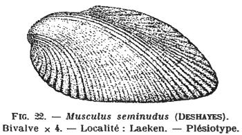 Fig.22 Musculus seminudus