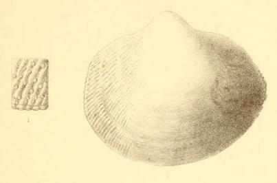 Fig.1 - Cardium honi Nyst