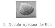 Fig 1 - Nucula nystana Glibert, M. (1936)