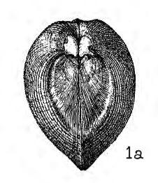 Pl. III, fig 1a