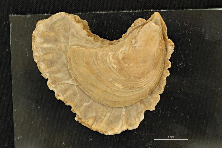 Ostrea (Ostrea) wemmelensis (Photostacking) - Ventral View