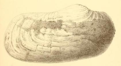 Fig.2 Panopaea Honi Nyst 1862