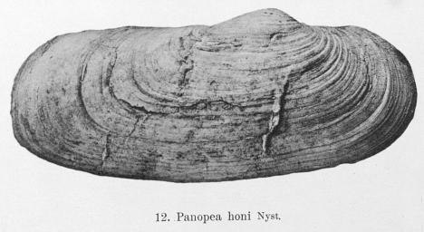 Fig.12 - Panopea honi