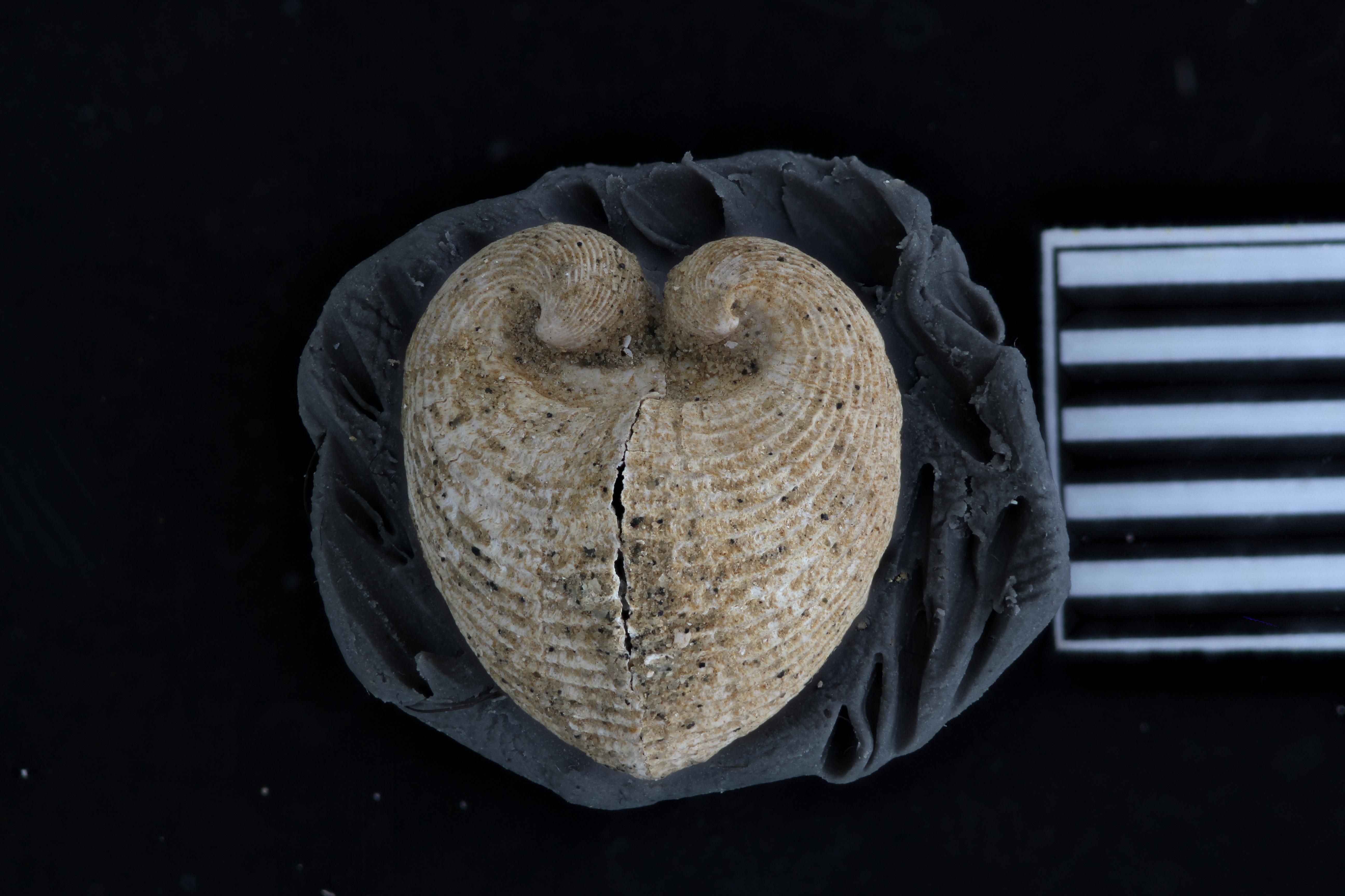 Pecchiolia wemmelensis (photostacking)