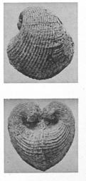 Fig.13 - Pecchiolia wemmelensis
