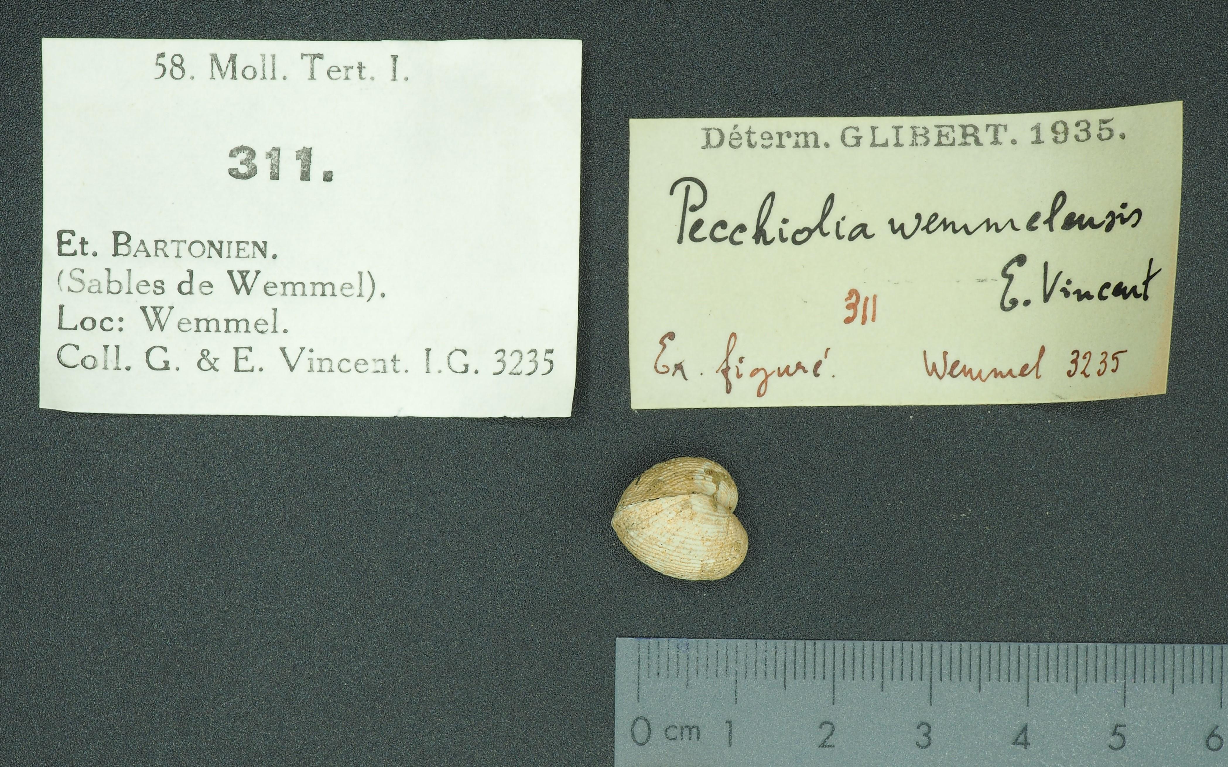RBINS 311 - Pecchiolia wemmelensis fig Lb