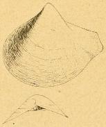 Fig.2-4 - Poromya argyrea