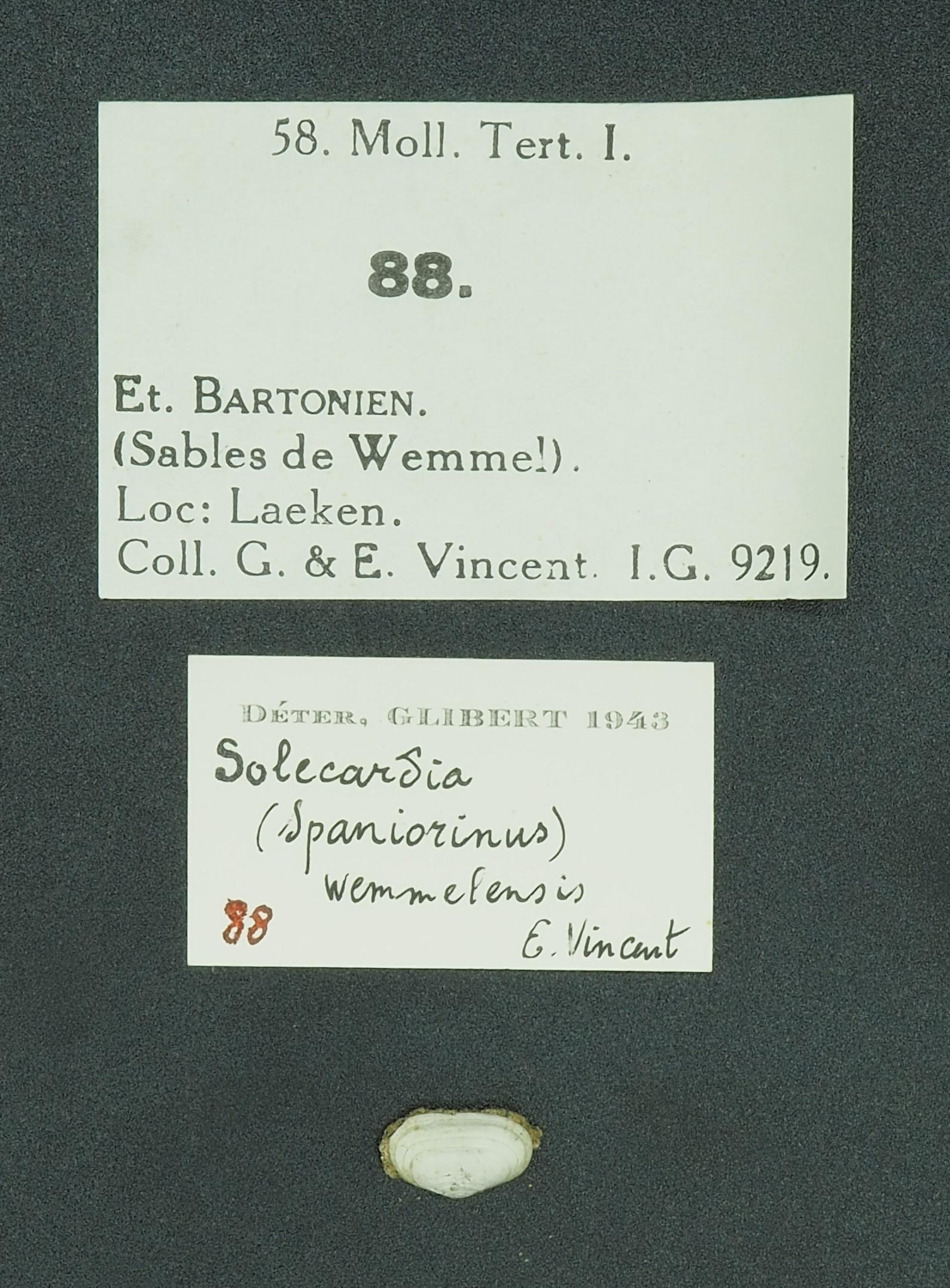 RBINS 88 - Solecardia wemmelensis