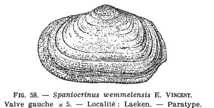 Fig.58 Solecardia wemmelensis Glibert M. (1936)