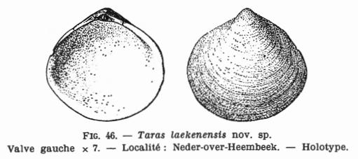 Fig. 46  Taras laekenensis Glibert M. (1936)
