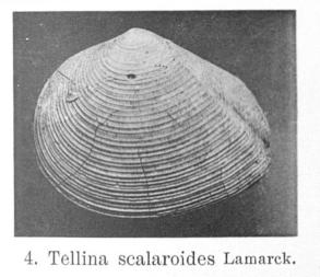 Fig.4 - Tellina scalaroides