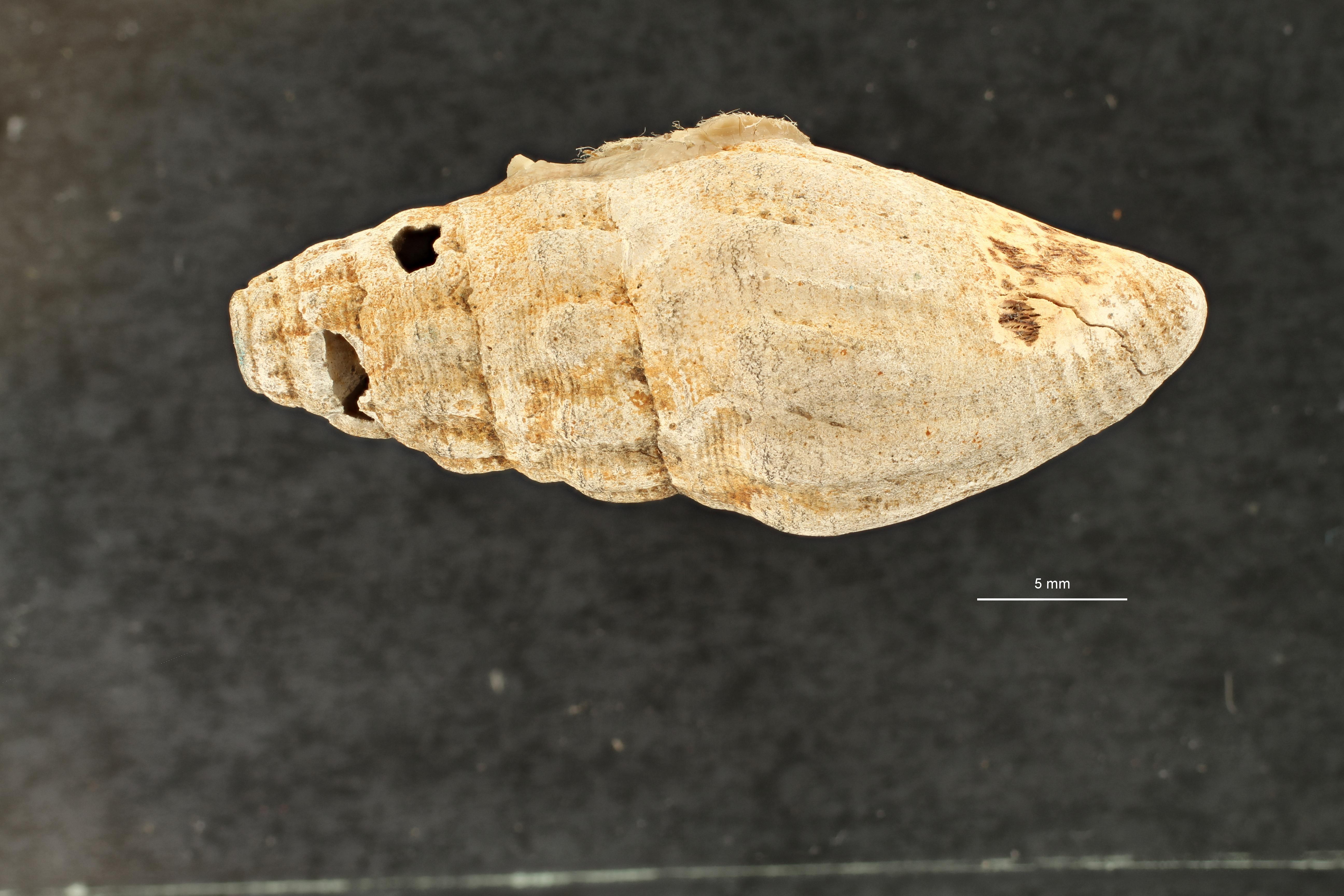 IRSNB 03897 (Borsonia teluci) dors ZS PMax scaled