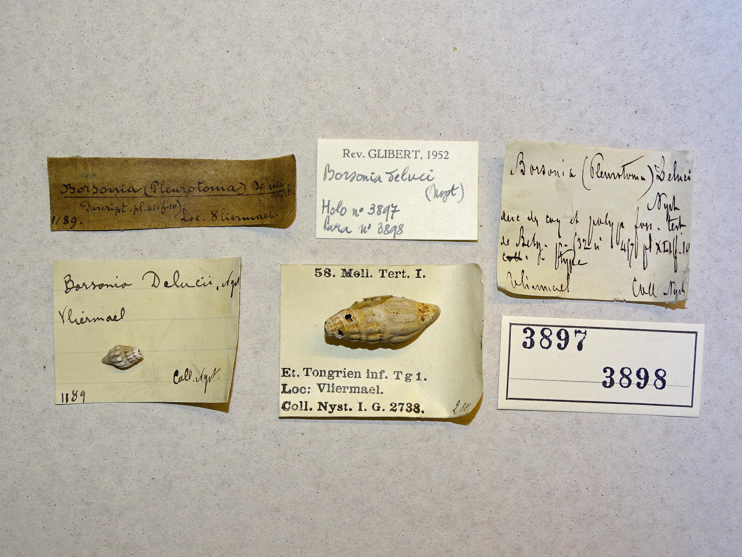 IRSNB 03897 (Borsonia teluci) Labels