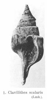 Fig.1 - Clavilithes scalaris