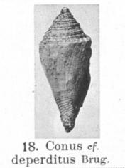 Pl. III, fig. 18