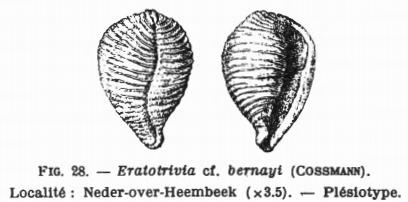 Fig.28 - Eratotrivia cf. bernayi